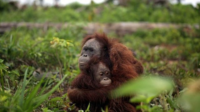 L'oli de palma és l'oli més venut i consumit en tot el món i els orangutans pateixen les seves conseqüències.