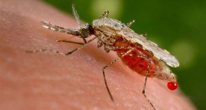 Mosquit portador malària
